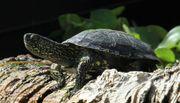 Sumpfschildkröte vermisst