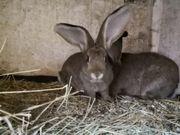 Zahme große Kaninchen