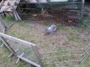 Suche ältere Kaninchendame für meinen