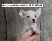 Entzückende Chihuahuawelpen für Verkauf