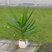 Yuccapalme ca 85cm schön gesund