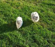 Pomeranian Zwergspitze in seltenen Farben