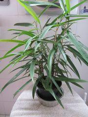 Ficus Alii Efeutute Fensterpflanze Ufopflanze