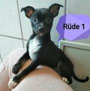 Chihuahua Zwergpinscher Mix Welpe