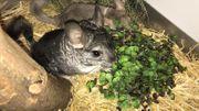 Chinchilla Weibchen 79EUR
