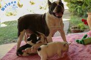 Bildschöne Französische Bulldoggen Welpen