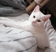 Edelmix Kitten Türkische Angora Bkh