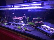 L- Wels Aquarium für Zucht