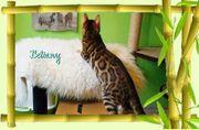 Bengal Cattery von Adjahny 3