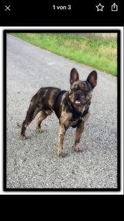 Französische Bulldogge Deckrüde Merle