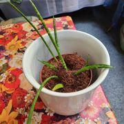 bogenhanf pflanze im Topf