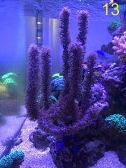 Korallenableger Korallen Gorgonien Weichkorallen Versand