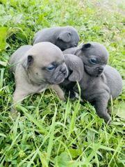 Reinrassige französische Bulldoggen zu verkaufen