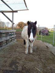 Shetty Pony zu verkaufen