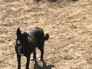 Super brave Labradormixhündin 6 Jahre