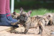 Französische Bulldogge Destiny vom Ritterclan
