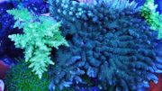 Meerwasser Koralle Acropora