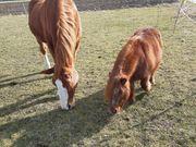 Beistellshetty Pony gesucht