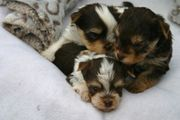 Yorkshire Terrier MINI Biro Rüde
