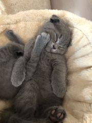 Bkh kitten und schottich fold