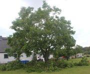 Walnussbaum und Kirschbaum im Sommer
