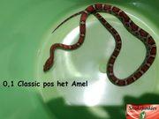 Kornnatter Classic pos het Amel