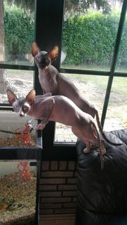 Canadian Sphynx Kätzchen zwei Velourskatzen