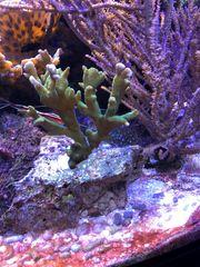 Koralle Montipora Steinkoralle