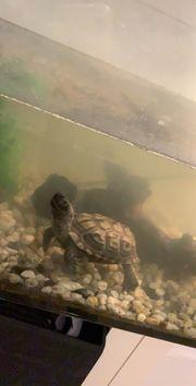 Verkaufe wasserschildkröten