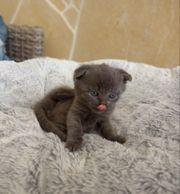 Süßes BKH Kitten in blue