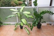 Zimmerpflanzen Dieffenbachia Zamioculcas Grünlilie Marante