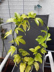 Maracuja Pflanze