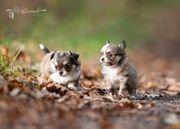 bezaubernde Chihuahua Welpen aus vorbildlicher