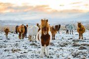 Suche Isländer Hengst oder Jährling