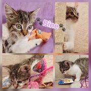 Wunderschöne Baby Katze Kitten Bine