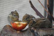 Streifenhörnchen Baumstreifenhörnchen Chipmunk