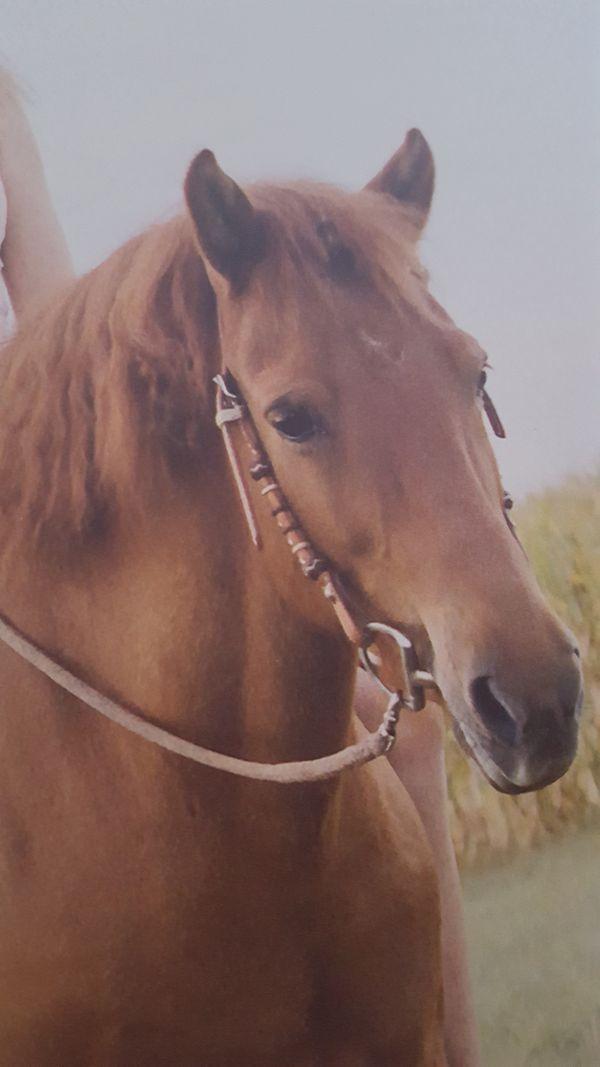 Suche bravs Pferd Bevorz Quarter