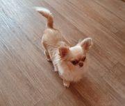 LH Chihuahua mit Ahnentafel