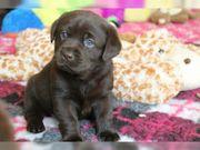 Labrador Welpen aus HausaufzuchtRoar