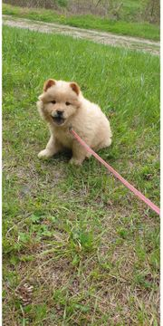 Chow Chow Cappuccino