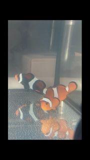 Meerwasser Clownfische Aquarium