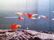 hochzucht guppys Japan blue redtail