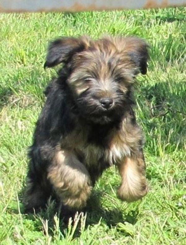 Tibet Terrier Welpen Aus Berlin Brandenburg Dezember 2019 In Ahrensfelde Hunde Kaufen Und Verkaufen Uber Private Kleinanzeigen