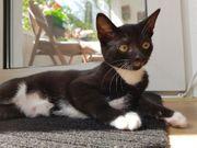 EKH Kitten Katze 14 Wochen