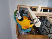 Papagei Ara ararauna gelbbrustara