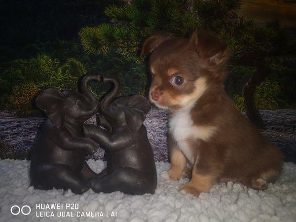 Chihuahuas von den Schoko Zwergen
