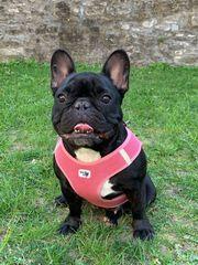 Französische Bulldogge Hündin 2 Jahre