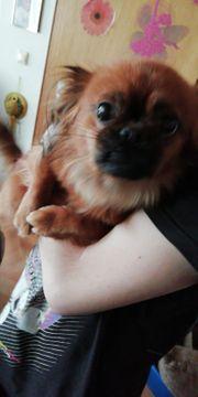 Mischlingshund Pekinese-Chihuahua