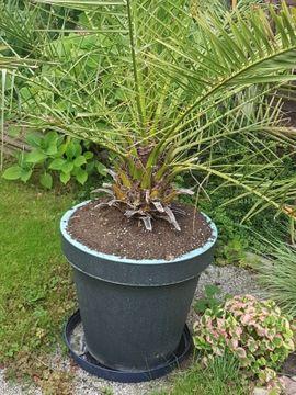 Phoenix Palmen: Kleinanzeigen aus Nürnberg St Peter - Rubrik Pflanzen