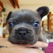 Französische Bulldogge Welpen Blue blau